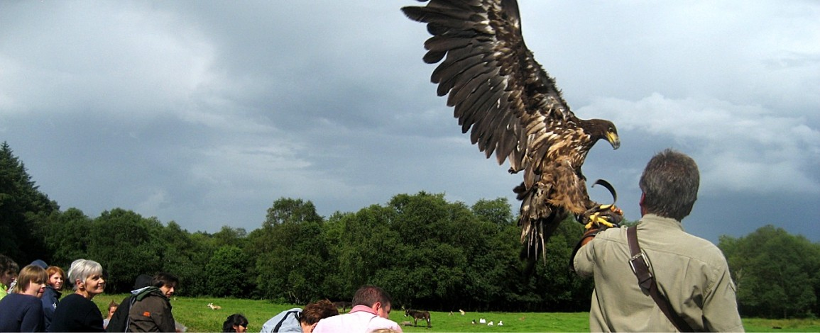 A white tailed eagle landing during the bird show at Eagles Flying - Irish Raptor Research Centre, Sligo, Ireland