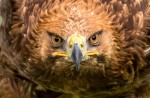 Eagle's head - Eagles Flying, Irish Raptor Research Centre, County Sligo, North West Ireland
