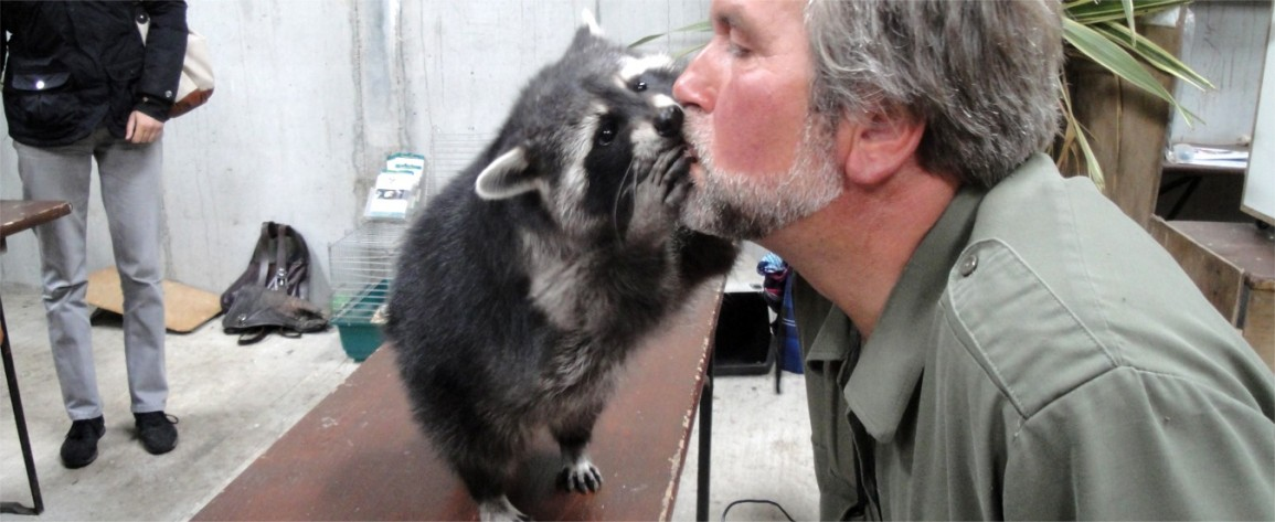 Grizzly, the racoon,  in the Petting Zoo kissing Eagles Flying Director and Zoologist Lothar F. Muschketat at Eagles Flying - Irish Raptor Research Centre, Sligo, Ireland