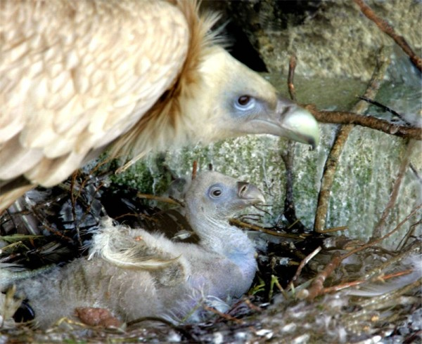 Himalayan Vulture with chick  at  Eagles Flying, Irish Raptor Research Centre, Ballymote, County Sligo, Ireland