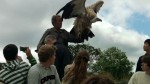 Himalayan Vulture at Irish Raptor Research Centre, County Sligo, North West Ireland