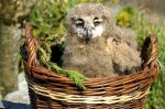Owlet at Eagles Flying