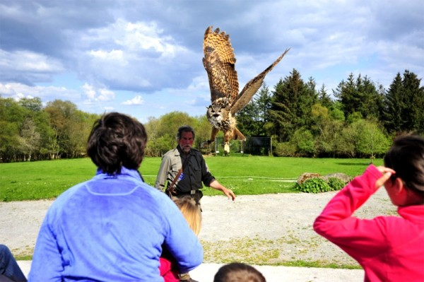 Owl landing during flying demonstration at Eagles Flying, Irish Raptor Research Centre, Ballymote, County Sligo, Ireland