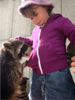 Grizzly, the racoon, skillfully pickpocketing a young visitor at Eagles Flying, Irish Raptor Research Centre, Ballymote, County Sligo, North West Ireland