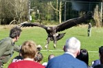 A white-tailed eagle landing during a flying demonstration at Eagles Flying, County Sligo, North West Ireland