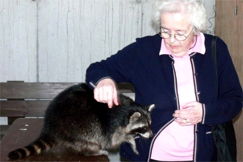 Woman visitor with racoon at Eagles Flying, Irish Raptor Research Centre, Ballymote, Co. Sligo, Ireland, copyright Val Robus